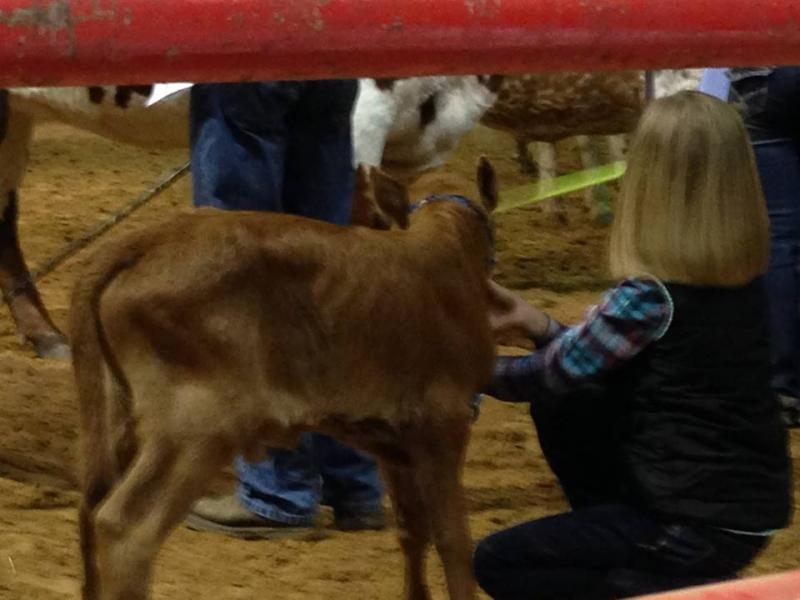 Avery Showing a calf at side for a Jake Vinson