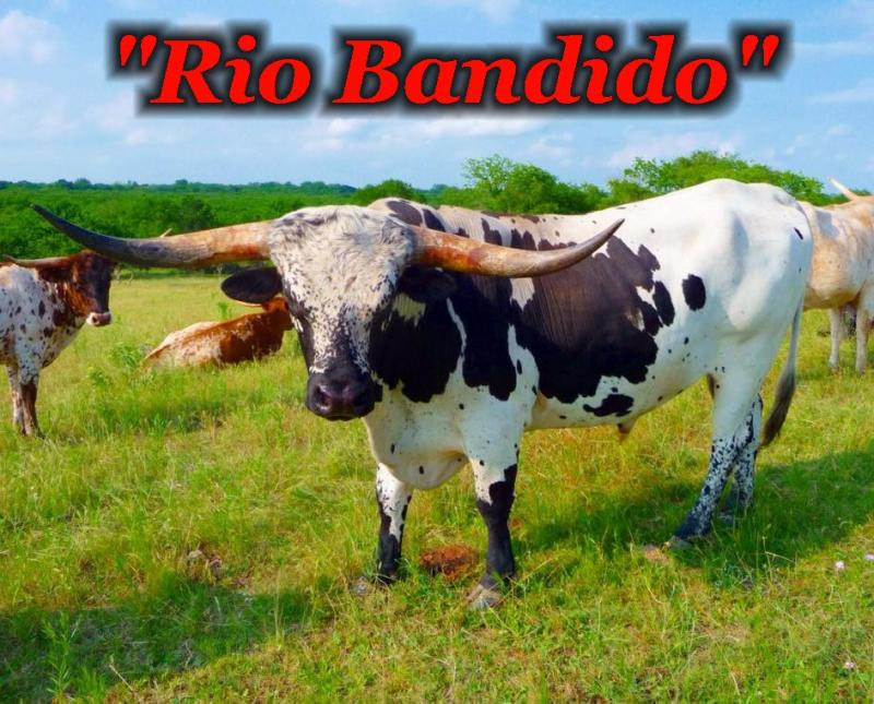 Rio Bandido: Registered Texas Longhorn Herd Sire at the R4 Ranch in Krum, TX