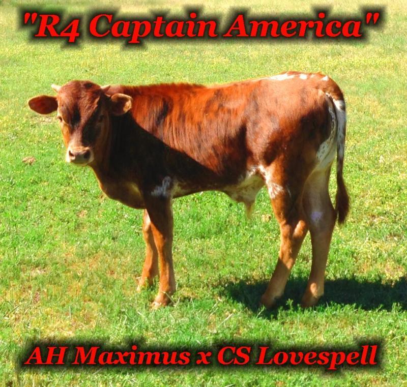 R4 Captain America: Registered Texas Longhorn Steer at the R4 Ranch in Krum, TX