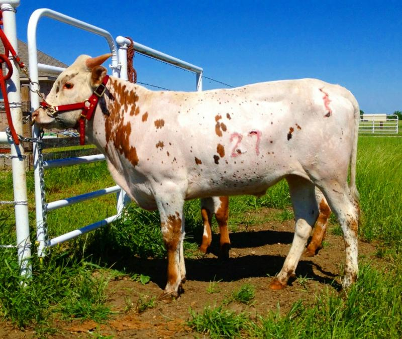 SSR Win the Jackpot:  Registere Texas Longhorn Steer for sale at the R4 ranch in