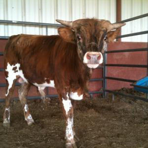 R4 Wilber Registered Texas Longhorn Bull