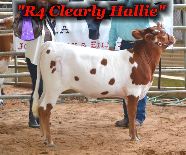 R4 Clearly Hallie: Registered Texas Longhorn Heifer at the R4 Ranch in Krum, TX