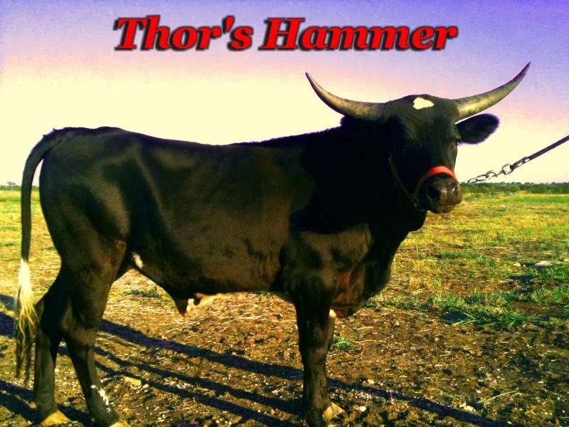 SSR Thor's Hammer Registered Texas Longhorn Steer for sale Krum Denton TX