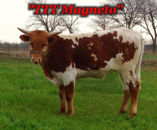 TTT Magneto: Registered Texas Longhorn Steer for sale