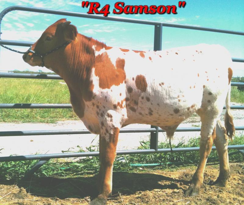 R4 Samson for sale registered texas longhorn