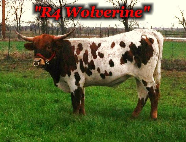 R4 Wolverine: Registered Texas Longhorn Steer From the R4 Ranch in Krum, TX